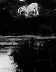 Horse in the Camargue, France